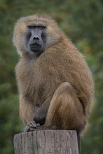 A Guinea Baboon Sitting On The Top Of A Trunk Staring Forward
