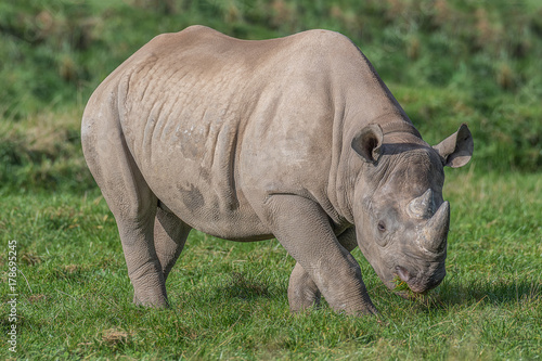 A full photograph of an eastern black rhino grazing
