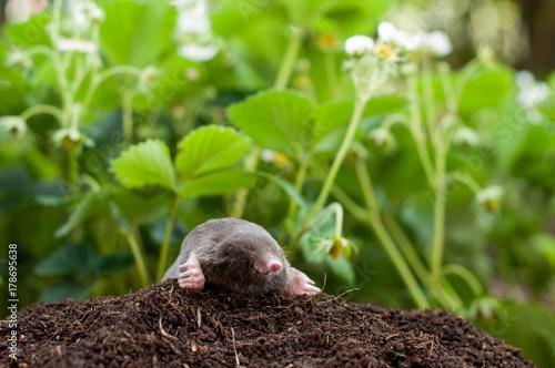 Tela Mole and molehill