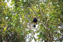 Long-tailed Myna (Mino Kreffti...