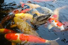 Duck And Carp Koi
