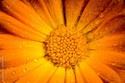 Obraz Calendula flower macro - fototapety do salonu