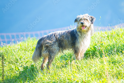 Photo Bergamasque shepherd dog in the meadow controls the cows