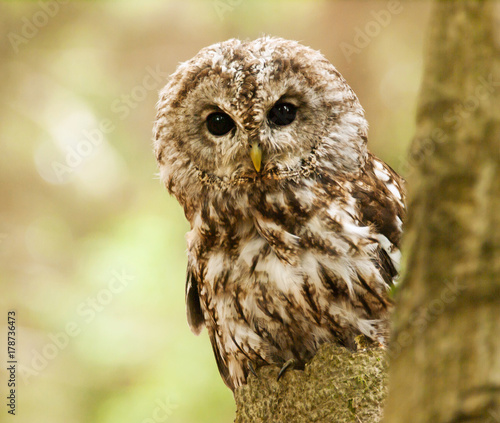 Deurstickers Uil Brown owl looking behind from the tree - Strix aluco