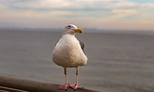 Single Herring Gull Perched On...