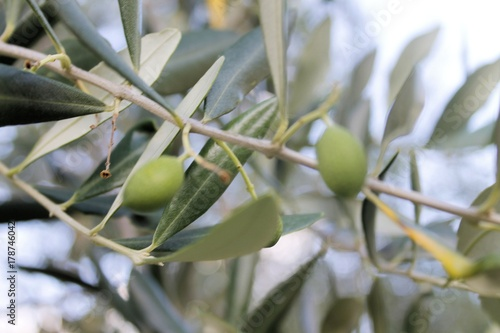 Wall Murals close up of greasy olive growing on the plant