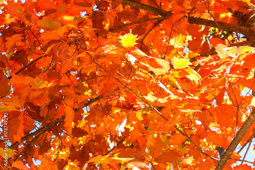 Foto op Aluminium Rood Close up View of Fall Colorful Leaves