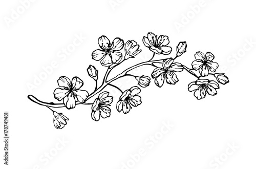 Vector sakura branch illustration isolated on white background Canvas Print