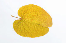 Golden Leaves Of Heart-shaped Butterfly Plant (BAUHINIA AUREIFOLIA)