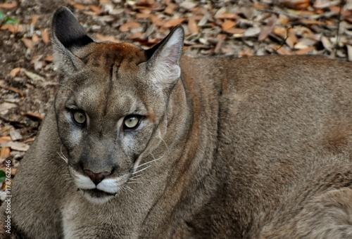 An endangered Florida Panther (Puma concolor coryi or Puma concolor couguar) in a Florida forest. Also called a cougar, puma, and mountain lion.