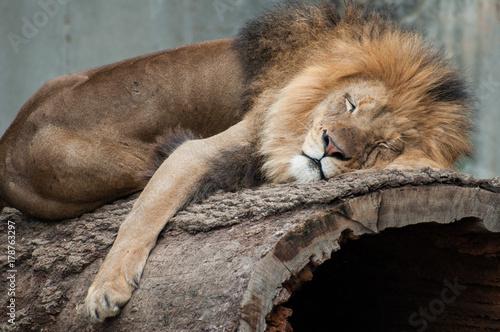 Photo Lion Sleeping Close Up