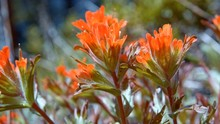 Macro Red Indian Paintbrush Fl...