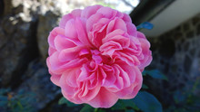 Large Pink Flower On A Green B...