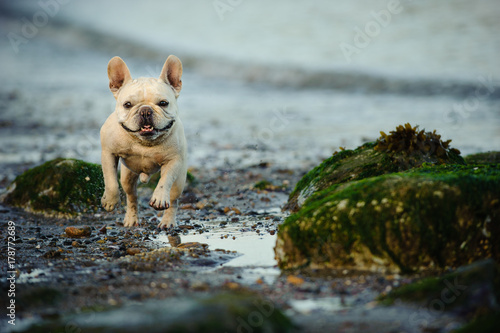 French Bulldog running through rocks on beach