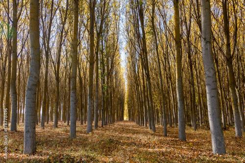 Bosque de chopos en otoño. Populus canadensis.  © LFRabanedo