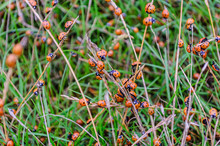Lots Of Lady Bugs In The Grass