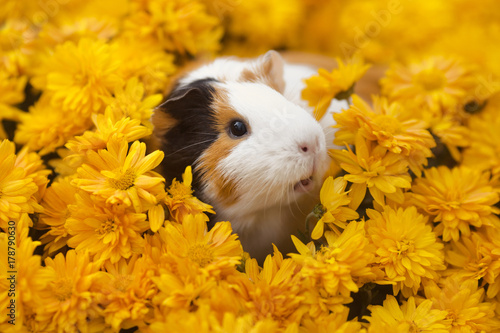 Pinturas sobre lienzo  Funny little guinea pig sitting in yellow flowers outdoors