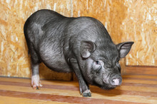 Vietnamese Pot-bellied Pig. Cute Little Black Piglet. Pig Breeding