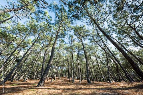 La pose en embrasure Kaki BASSIN D'ARCACHON (France), forêt de pins en bord de mer