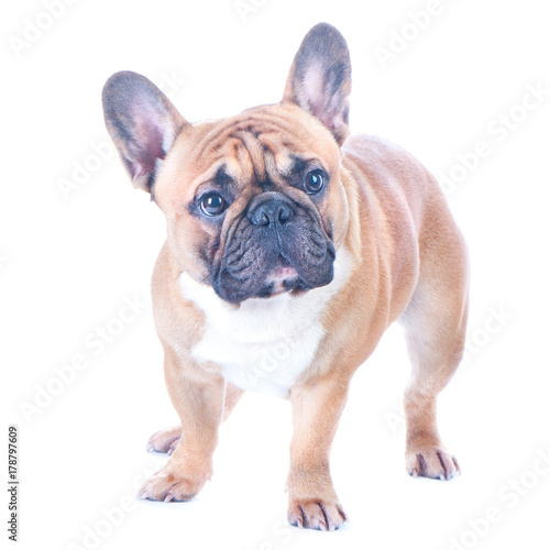 Foto  Dog, beautiful French Bulldog, redhead, isolated perfect on white background
