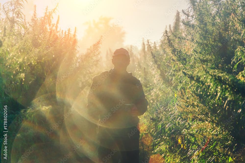 Fototapety, obrazy: Silhouette of a man on a hemp field in sunlight