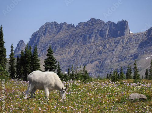Valokuva  Focus Stacked Image of a Mountain Goat Glacier National Park
