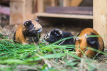 Three Guinea Pigs Eating Grass