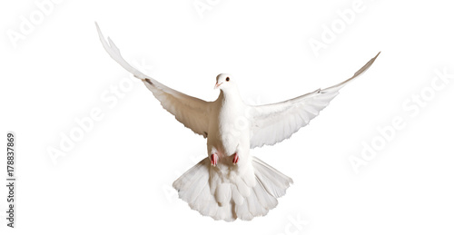 white pigeon flying isolated on a white background Canvas-taulu