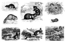 Mammals Rodents. Engraving.