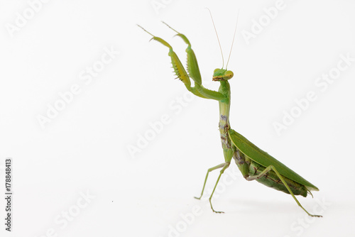 Praying mantis (Mantis religiosa) isolated on white