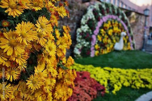 Photo Chrysanthemen in der Stadt Lahr