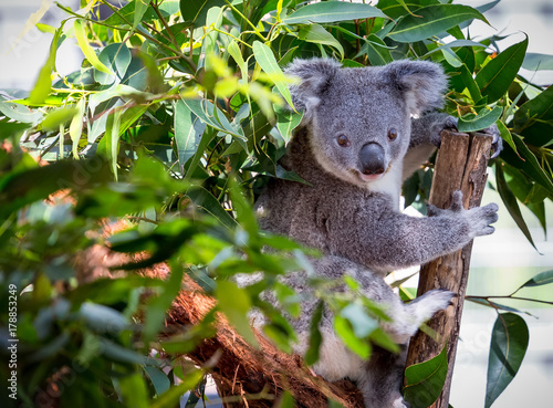 Foto op Canvas Koala Close up of Koala Bear in trees