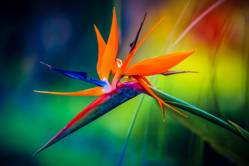 Fototapeta Eko Tropical heliconia parrot flower with blurry background in all colors of the rainbow