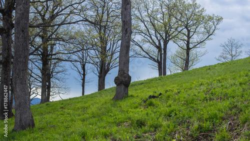 Fotografie, Obraz  Spring landscape. Oak grove on a hillside.