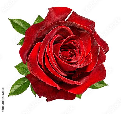 Plakat Świeża piękna róża odizolowywająca na białym tle z ścinek ścieżką