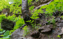 Curved Oak Tree On The Edge Of A Cliff In The Rocky Terrain