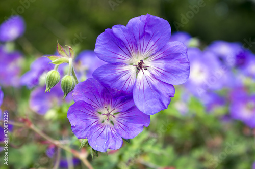 Cranesbills group of flowers, Geranium Rozanne in bloom Canvas Print