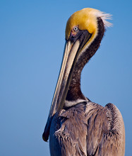 Brown Pelican In Breeding Plum...