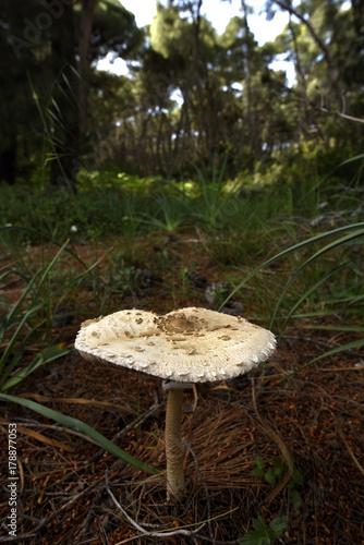 Fotografie, Obraz  Riesenschirmling (Macrolepiota procera) - Parasol
