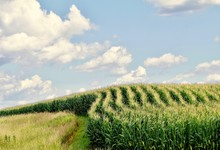 Curved Rows Of Corn On A Hills...