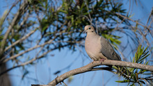 Mourning Dove Perched On Tree ...