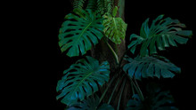 Green Leaves Of Monstera Or Sp...