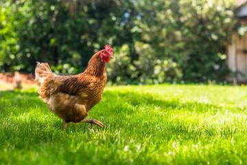 Hen or chicken running free range