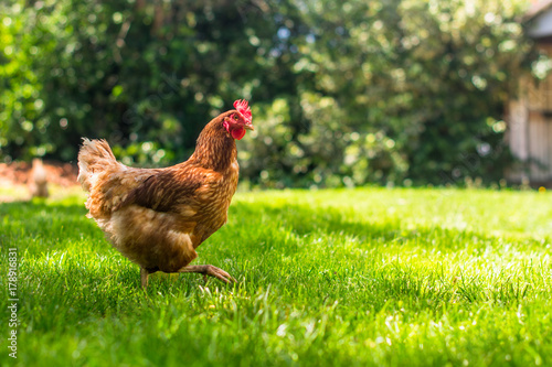 obraz PCV Hen or chicken running free range