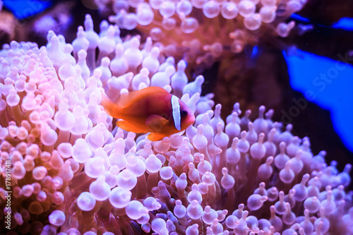 Fotografie, Tablou Amphiprion (Western clownfish (Ocellaris Clownfish, False Percula Clownfish)) is in anemone