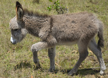 Baby Donkey Taking The First Steps On A Grass Field In Colombia