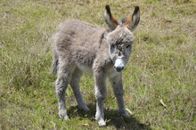 Baby Donkey Taking The First S...