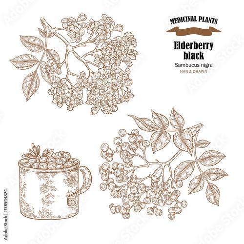 Elderberry black common names sambucus nigra hand drawn elder elderberry black common names sambucus nigra hand drawn elder branch with flowers and leaves vector mightylinksfo
