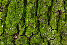 Green Moss Covers An Oak Tree'...