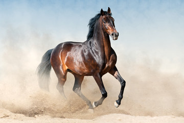 Bay stallion in sandy dust